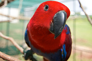 A healthy adult female Red Sided Eclectus Parrot