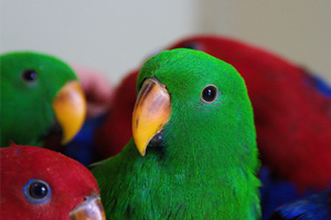 New Eclectus babies from a top breeder