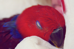 A gorgeous weaned Eclectus hen from a top Eclectus parrot breeder
