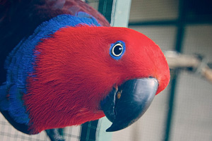 A beautiful, healthy Eclectus parrot female from a breeder with a top reputation