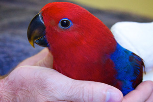 A happy and loved Eclectus hen