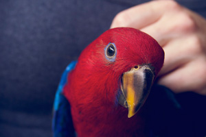 Adorable pet Eclectus parrot baby